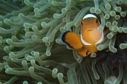 Clownfiskarna hör till dem som är känsliga för ökade koldioxidutsläpp. Arkivbild.