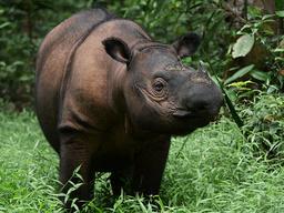 Sumatranoshörningen blev ett av Elizabeth Kolberts favoritdjur – men bara ett 90-tal individer finns kvar i det vilda, plus 10 i fångenskap. Arkivbild.